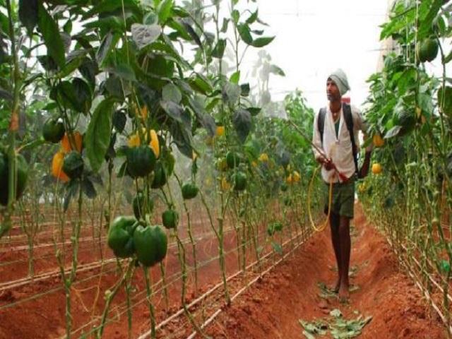 या शेतकऱ्याने ढोबळ्या मिरचीतून अडीच महिन्यात घेतले चक्क सात लाखांचे उत्पन्न