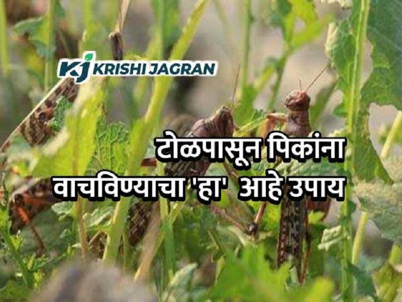 टोळधाड हल्ला :   ऐकलं का !  शेतकऱ्यांनो 'या' उपायाने वाचवा पिकांना