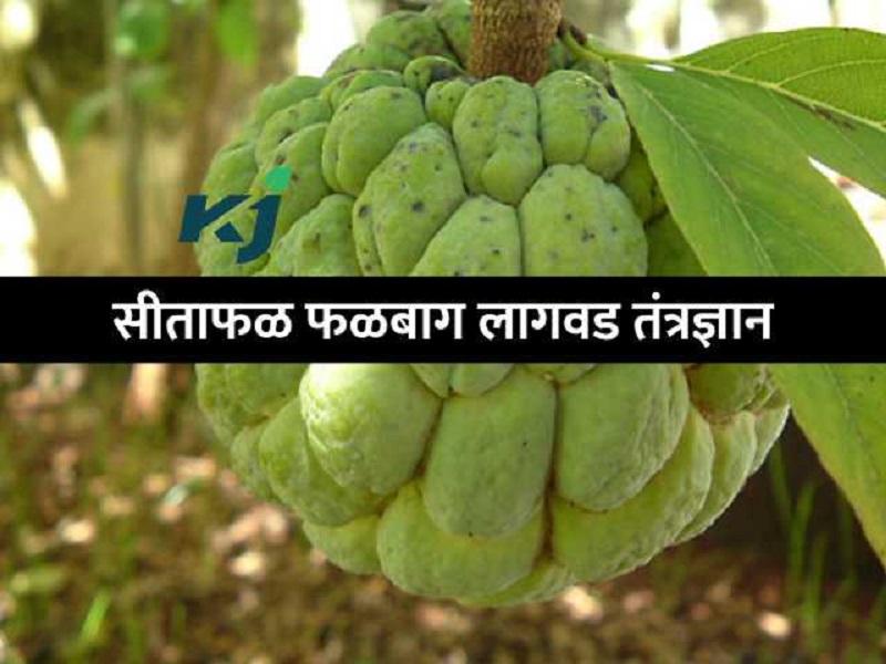 राज्यात होते 'या'  पाच सीताफळांची लागवड;   एका झाडाला येतात १५० फळे