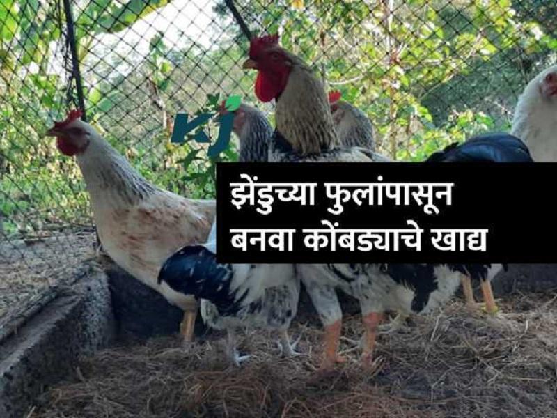 अंड्यांची गुणवत्ता वाढविण्यासाठी कोंबड्यांना द्या झेंडुची फुले