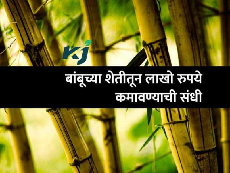 खुशखबर :  बांबूच्या शेतीसाठी सरकार करते मदत ;  बक्कळ कमाई करण्याची संधी