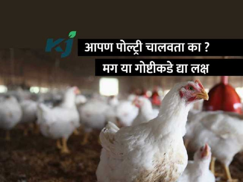 पोल्ट्री मालकांनो  ! पावसाळ्यात कोंबड्यांना संसर्ग आजार होण्याची शक्यता
