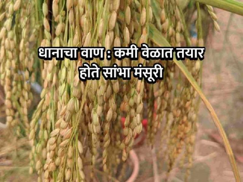 सांभा मंसूरी वाण :   मधुमेह झालेले लोकही खाऊ शकणार भात