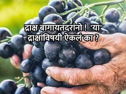 द्राक्ष बागायतदारांनो !  जबरदस्त उत्पादन देते सीड्लेस इलॉगेटे्ड पर्पल