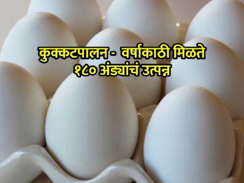 अंडे उत्पादनासाठी उपयुक्त आहेत 'या' जातीच्या कोंबड्या; वर्षभर सुरू राहिल कमाई
