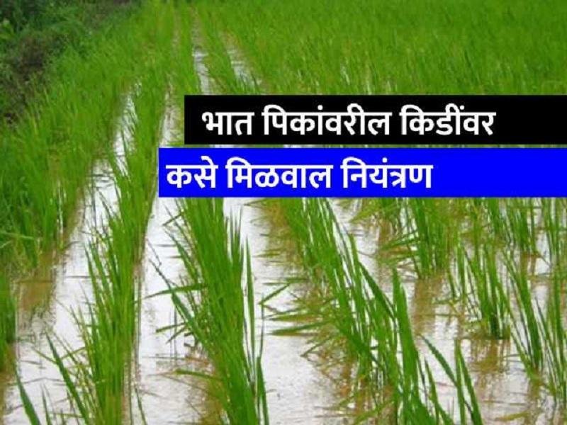 भात पिकावरील किडींचे नियंत्रण