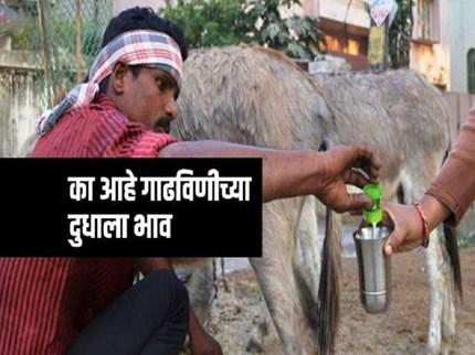 बाबो  !  गाढविणीच्या दुधाला ७ हजार रुपयांचा दर;  काही आहेत या दुधातील गूण
