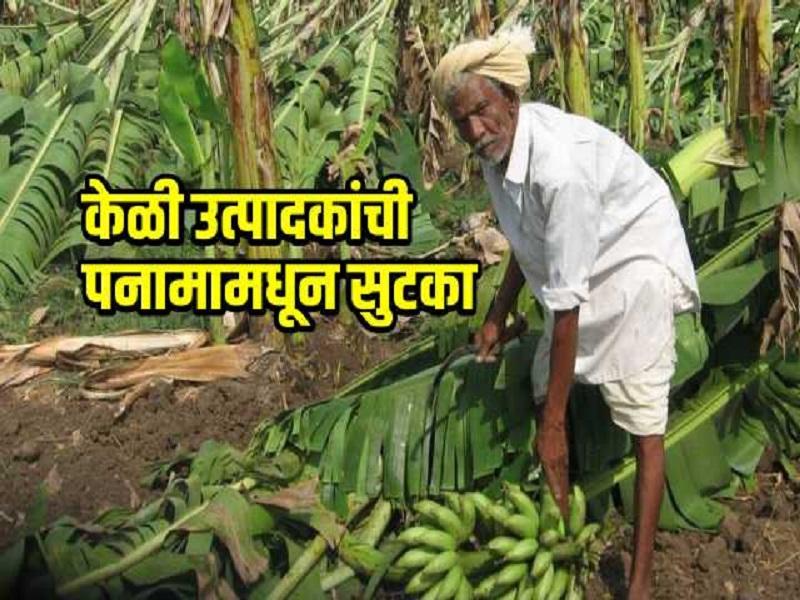 शास्त्रज्ञांना सापडला केळीवरील पनामाचा इलाज; केळी उत्पादकांची चिंता मिटणार