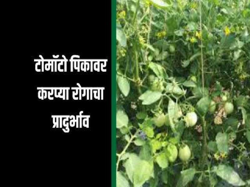 पुणे जिल्ह्यात टोमॅटोवर जिवाणूजन्य करप्या रोगाचा प्रादुर्भाव ; लाखो रुपयाचे नुकसान