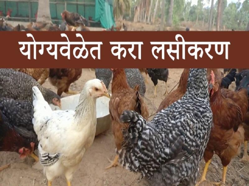 कोंबड्यांना लसीकरण करताना 'ही' घ्या काळजी