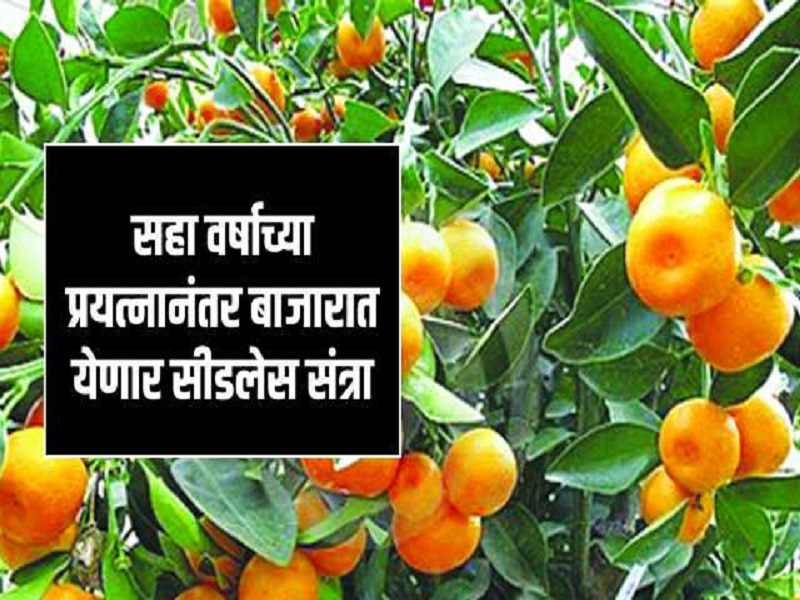 विदर्भात दिसणार सीडलेस संत्रा - मोसंबी;  आता कमी जागेत अन् कमी पाण्यात येणार उत्पन्न
