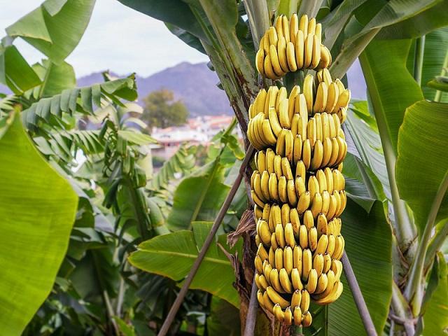 अशा प्रकारे करावे केळी लागवड आणि व्यवस्थापन,होणार शंभर टक्के फायदा