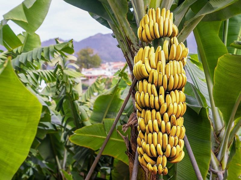मालेगाव तालुक्यातील माळमाथा भागात पिकवली केळीची  बाग