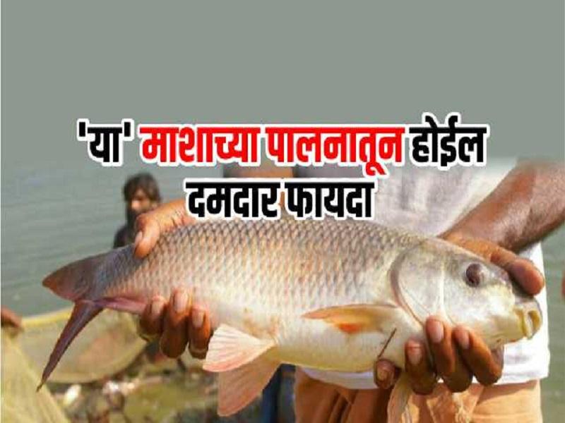 जयंती जातीचा मासा आहे फायदेशीर;  ९ महिन्यात देईल बक्कळ पैसा