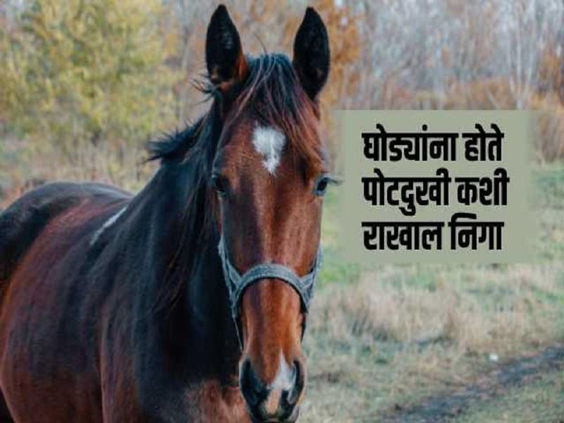 घोड्यांमधील कोलीक नावाचा आजार;  आहाराने करा  व्यवस्थापन