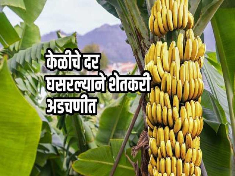 अतिवृष्टीचा परिणाम ;  कमी भाव मिळत  असल्याने केळी उत्पादक चिंतेत