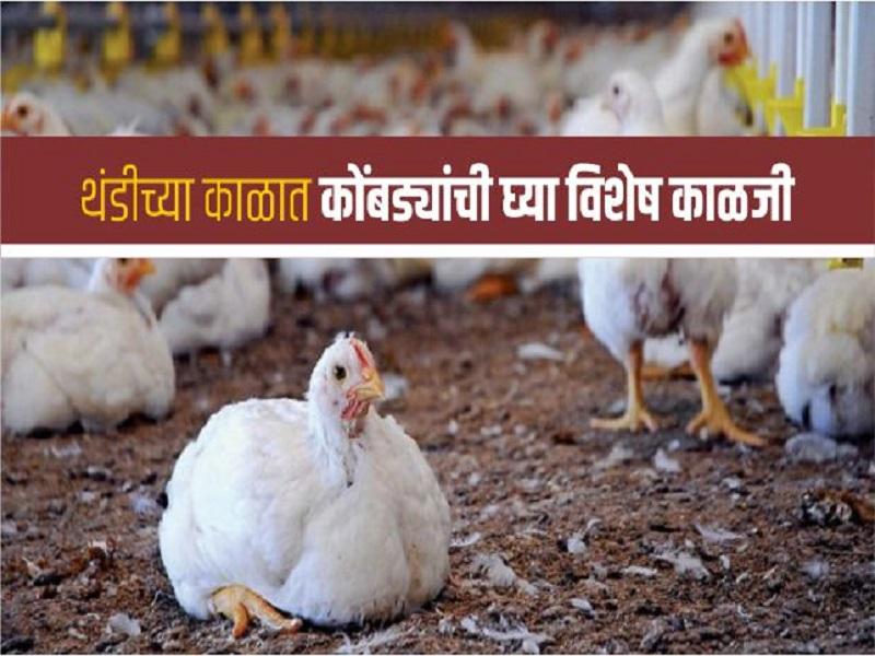 हिवाळ्यात शेडमधील कोंबड्यांची कशी घ्याल काळजी;  वाचा संपुर्ण माहिती