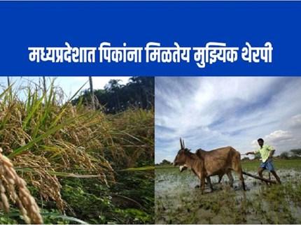 शेतीचा म्युझिकल फंडा : गाणे ऐकून गायी देतात भरघोस दूध, तर सेंद्रीय खाद्यही तयार होते लवकर