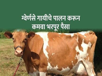 ग्वेर्णसे जातीची गाय देईल बक्कळ पैसा; जाणून घ्या! गायीचे वैशिष्ट्ये