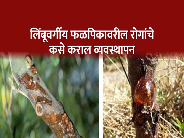 लिंबूवर्गीय फळबागेतील खोड्कुज, मुळकुज व डिंक्या रोगाचे व्यवस्थापन
