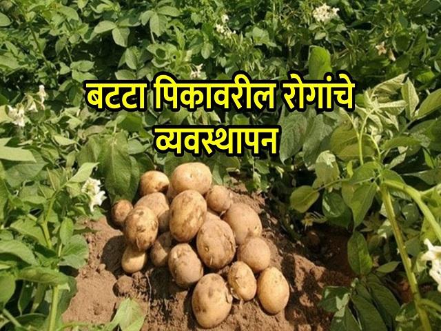बटाटा पिकावरील विषाणूजन्य रोग व व्यवस्थापन