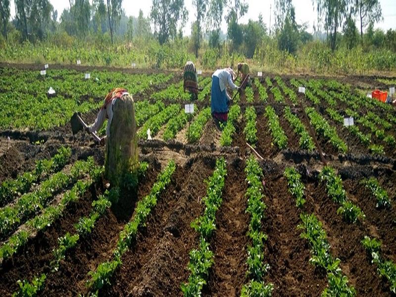 बटाटा पिकावरील रोगाचे व्यवस्थापन
