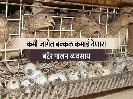 घराच्या छतावर उभारला बटेर फार्म;  कमी गुंतणुकीवर केली लाखो रुपायांची कमाई