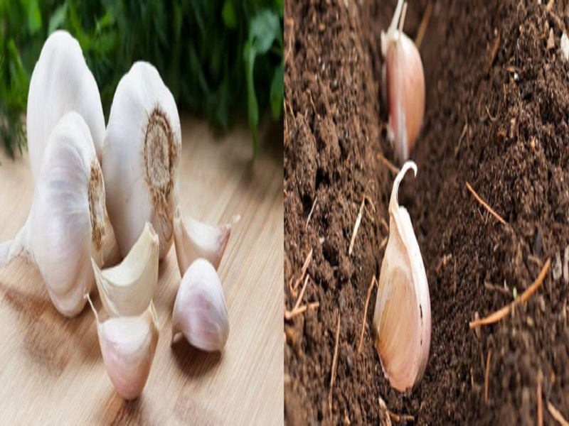 Garlic Cultivation Techniques