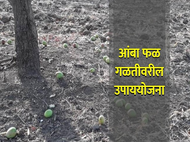 आपल्या आंबा बागेत  फळगळ होतेय का?  काय आहेत यामागील कारणे ;  वाचा सविस्तर