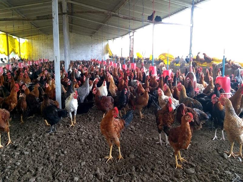 गावरान कोंबड्या