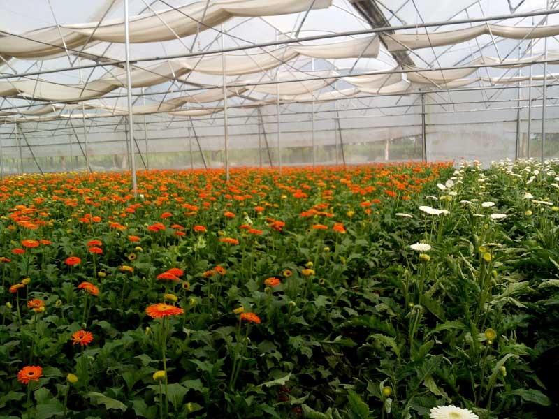 Gerbera flower cultivation