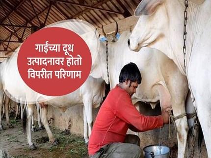 उन्हाळ्यामध्ये संकरीत गाई व म्हशींचे व्यवस्थापन , जाणून घ्या काय येतात समस्या