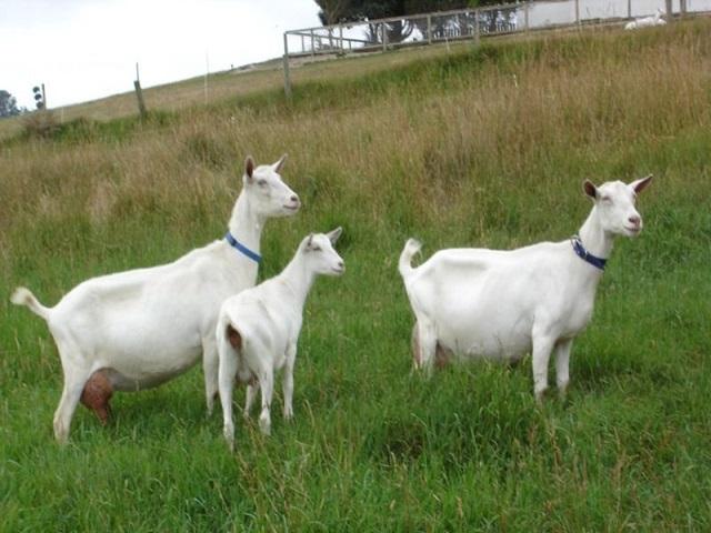बारा लिटर दूध देणारी शेळी माहिती आहे का?  राज्यात येणार भरघोस उत्पन्न देणारी बकरी