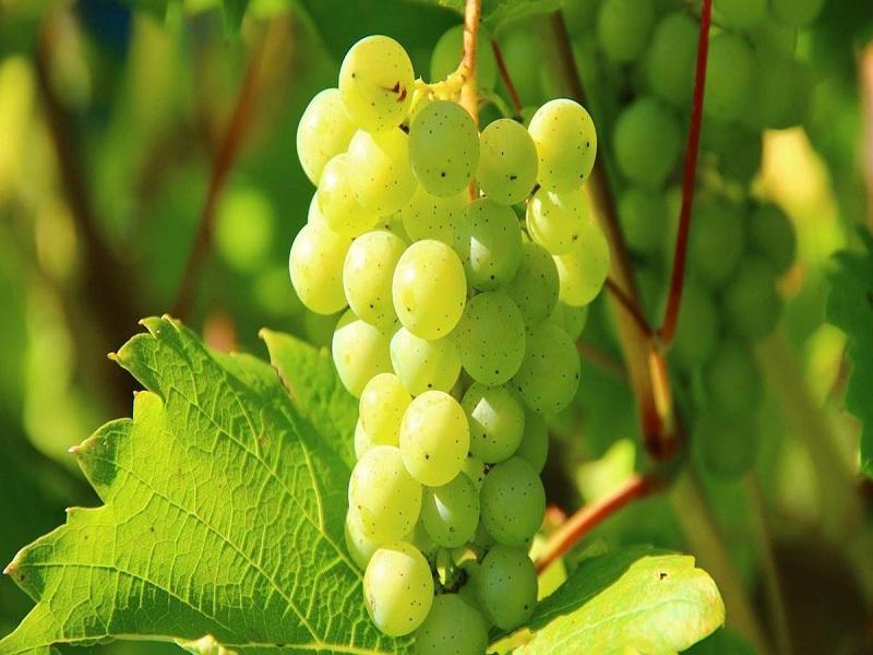 द्राक्ष खाण्याचे फायदे