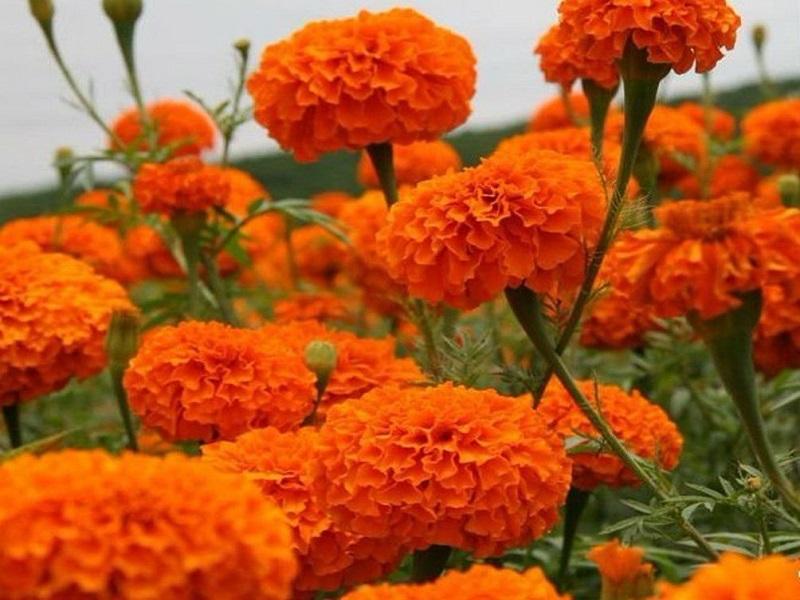 marigold farming